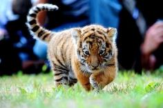 Les bébés tigres spartakistes sont à l'affût !